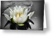 White Water Lily Black And White Greeting Card
