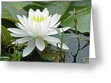 White Water Lily Wildflower - Nymphaeaceae Greeting Card