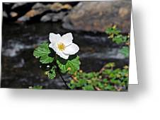 White Wild Rose In Big Thompson Canyon Greeting Card