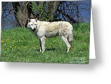 White Wolf 2 Greeting Card