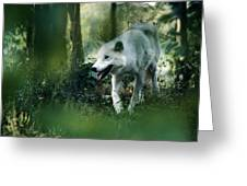 White Wolf Walking In Forest Greeting Card