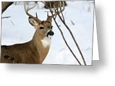 Whitetail Buck Profile Greeting Card