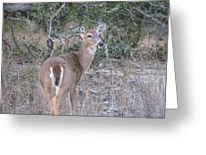 Whitetail Deer II Greeting Card