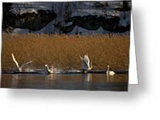 Whooper Swan Nr 12  Greeting Card