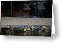 Whooper Swan Nr 13 Greeting Card