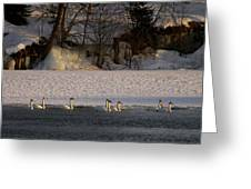 Whooper Swan Nr 14 Greeting Card