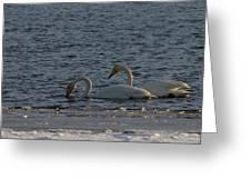 Whooper Swan Nr 2 Greeting Card