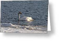 Whooper Swan Nr 3 Greeting Card