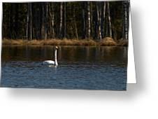 Whooper Swan Of Liesilampi 3 Greeting Card
