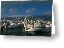 Whooper Swans In Winter Greeting Card