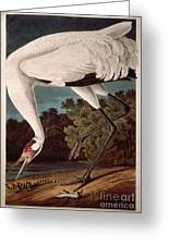 Whooping Crane Greeting Card by John James Audubon