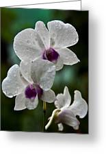 Whte Orchids Greeting Card