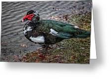 Wierd Muscovy Duck Greeting Card