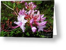 Wild And Native Pink Azalea Greeting Card