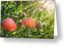 Wild Beautiful Telopea Flower In Sunset Light  Greeting Card