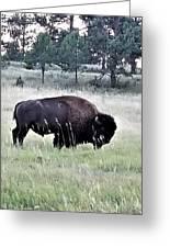 Wild Buffalo Greeting Card