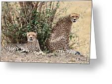 Wild Cheetahs Greeting Card