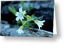 Wild Chickweed Greeting Card