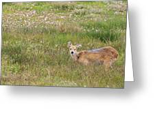 Wild Chinese Water Deer  Greeting Card