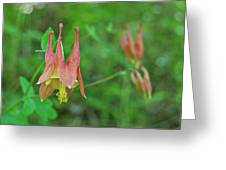 Wild Columbine Greeting Card