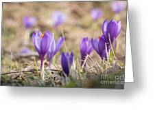 Wild Crocus Balkan Endemic Greeting Card