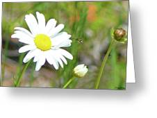Wild Daisy With Visitor Greeting Card