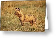 Wild Dog Of Botswana Greeting Card