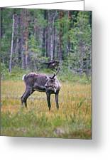 Wild Finnish Forest Reindeer 24 Greeting Card