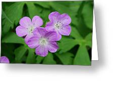 Wild Geranium Triplet  Greeting Card