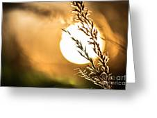 Wild Grain At Sunset Greeting Card