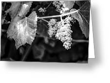 Wild Grapes In Light 2 Greeting Card