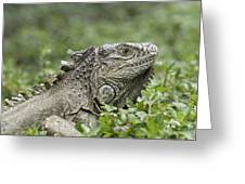 Wild Green Iguana Iguana Iguana At Los Greeting Card