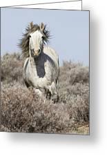 Wild Grey Stallion Runs Close Greeting Card by Carol Walker