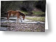 Wild Horse Crosses Salt River Greeting Card