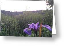 Wild Iris Greeting Card