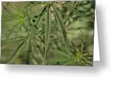 Wild Marijuana Leaves Near Burwell, Ne Greeting Card