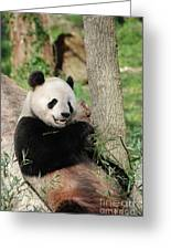 Wild Panda Bear Eating Bamboo Shoots While Leaning Against A Tre Greeting Card
