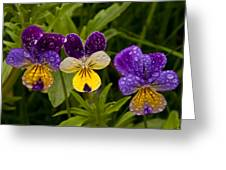 Wild Pansy Trio Greeting Card