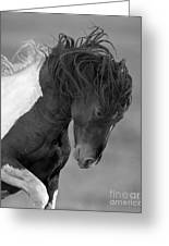 Wild Pinto Stallion Greeting Card