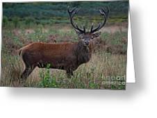 Wild Red Deer Stag Greeting Card