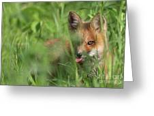 Wild Red Fox Puppy Greeting Card