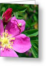 Wild Rose And The Spider Greeting Card