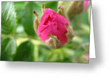 Wild Rose Bud Greeting Card