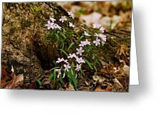 Wild Spring Beauty Greeting Card