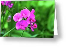 Wild Sweet Pea Greeting Card