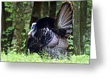 Wild Turkey 1 Greeting Card