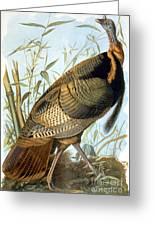 Wild Turkey Greeting Card