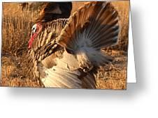 Wild Turkey Tom Following Hens Greeting Card by Max Allen
