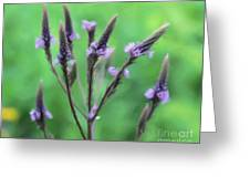 Wild Vervain Greeting Card