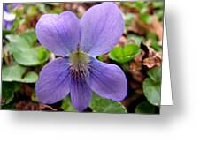 Wild Violet 2 Greeting Card
